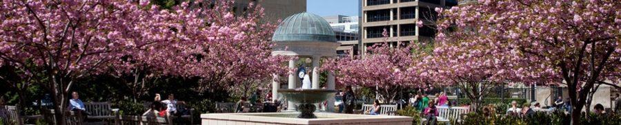 Cherry Blossoms bloom at George Washington University.