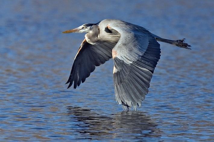Great+Blue+Heron%2C+Santee+Lakes+Recreational+Preserve%2C+Near+San+Diego%2C+California